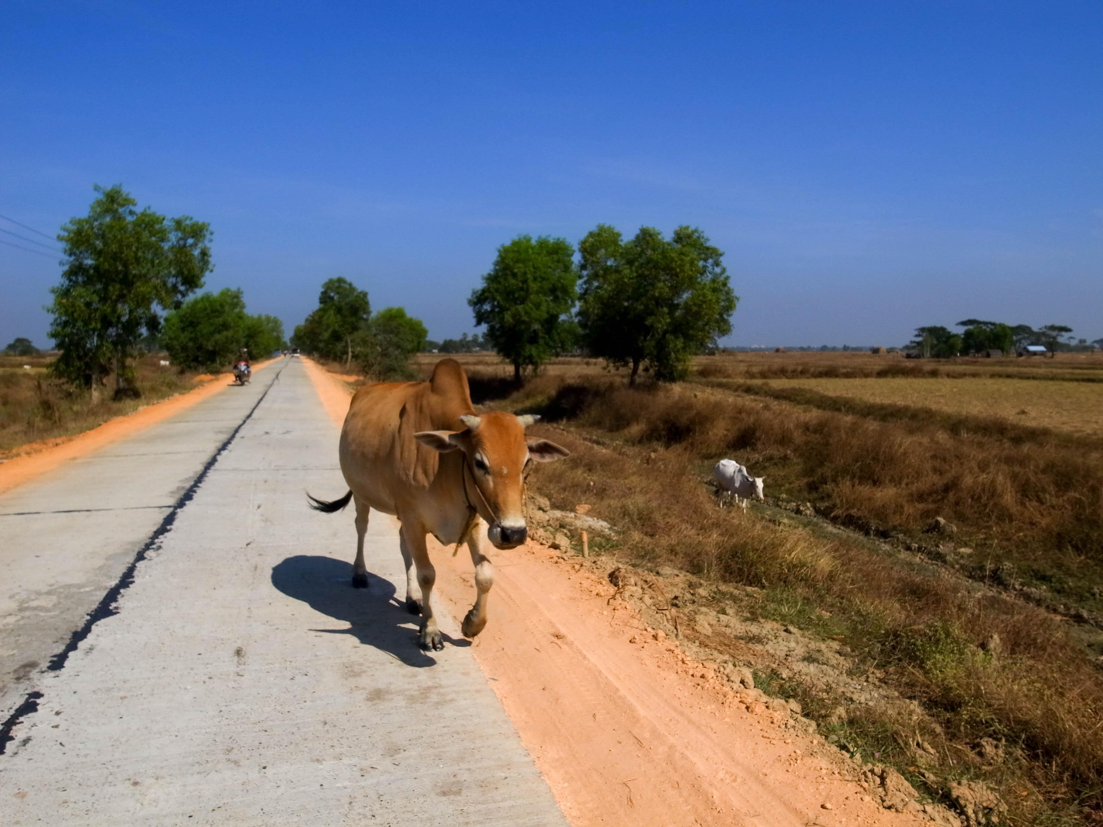 生きものミャンマー紀行 その6 牛